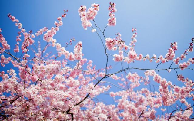 Alberi in fiore in primavera