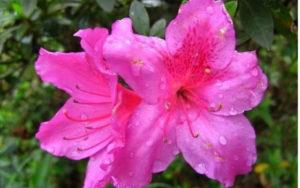 Azalea in fiore in primavera