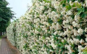 Gelsomino rampicante in fiore