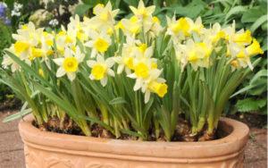 Narciso in fiore