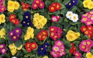 Primule in fiore