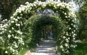 Rose rampicanti in fiore