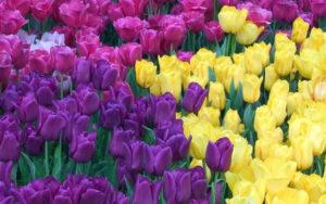 Tulipani in fiore dai colori sgargianti